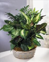 Woodland Greens™ Assortment Funeral Flowers, Sympathy Flowers, Funeral Flower Arrangements from San Francisco Funeral Flowers.com Search for chinese funeral, sympathy funeral flower arrangements from our SanFranciscoFuneralFlowers.com website. Our funeral and sympathy arrangements include crosses, casket covers, hearts, wreaths on wood easels, coronas fúnebres, arreglos fúnebres, cruces para velorio, coronas para difunto, arreglos fúnebres, Florerias, Floreria, arreglos florales, corona funebre, coronas