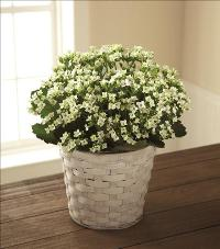 White Kalanchoe Funeral Flowers, Sympathy Flowers, Funeral Flower Arrangements from San Francisco Funeral Flowers.com Search for chinese funeral, sympathy funeral flower arrangements from our SanFranciscoFuneralFlowers.com website. Our funeral and sympathy arrangements include crosses, casket covers, hearts, wreaths on wood easels, coronas fúnebres, arreglos fúnebres, cruces para velorio, coronas para difunto, arreglos fúnebres, Florerias, Floreria, arreglos florales, corona funebre, coronas