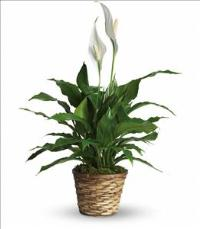 Simply Elegant Spathiphyllum - Small Funeral Flowers, Sympathy Flowers, Funeral Flower Arrangements from San Francisco Funeral Flowers.com Search for chinese funeral, sympathy funeral flower arrangements from our SanFranciscoFuneralFlowers.com website. Our funeral and sympathy arrangements include crosses, casket covers, hearts, wreaths on wood easels, coronas fúnebres, arreglos fúnebres, cruces para velorio, coronas para difunto, arreglos fúnebres, Florerias, Floreria, arreglos florales, corona funebre, coronas
