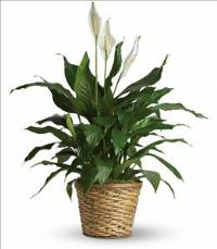 Simply Elegant Spathiphyllum - Medium Funeral Flowers, Sympathy Flowers, Funeral Flower Arrangements from San Francisco Funeral Flowers.com Search for chinese funeral, sympathy funeral flower arrangements from our SanFranciscoFuneralFlowers.com website. Our funeral and sympathy arrangements include crosses, casket covers, hearts, wreaths on wood easels, coronas fúnebres, arreglos fúnebres, cruces para velorio, coronas para difunto, arreglos fúnebres, Florerias, Floreria, arreglos florales, corona funebre, coronas