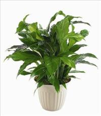 """Peace Lily"" Spathiphyllum Plant Funeral Flowers, Sympathy Flowers, Funeral Flower Arrangements from San Francisco Funeral Flowers.com Search for chinese funeral, sympathy funeral flower arrangements from our SanFranciscoFuneralFlowers.com website. Our funeral and sympathy arrangements include crosses, casket covers, hearts, wreaths on wood easels, coronas fúnebres, arreglos fúnebres, cruces para velorio, coronas para difunto, arreglos fúnebres, Florerias, Floreria, arreglos florales, corona funebre, coronas"