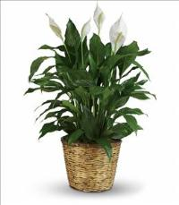 Simply Elegant Spathiphyllum - Large Funeral Flowers, Sympathy Flowers, Funeral Flower Arrangements from San Francisco Funeral Flowers.com Search for chinese funeral, sympathy funeral flower arrangements from our SanFranciscoFuneralFlowers.com website. Our funeral and sympathy arrangements include crosses, casket covers, hearts, wreaths on wood easels, coronas fúnebres, arreglos fúnebres, cruces para velorio, coronas para difunto, arreglos fúnebres, Florerias, Floreria, arreglos florales, corona funebre, coronas