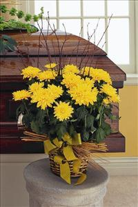 Yellow Blooming Chrysanthemum Funeral Flowers, Sympathy Flowers, Funeral Flower Arrangements from San Francisco Funeral Flowers.com Search for chinese funeral, sympathy funeral flower arrangements from our SanFranciscoFuneralFlowers.com website. Our funeral and sympathy arrangements include crosses, casket covers, hearts, wreaths on wood easels, coronas fúnebres, arreglos fúnebres, cruces para velorio, coronas para difunto, arreglos fúnebres, Florerias, Floreria, arreglos florales, corona funebre, coronas